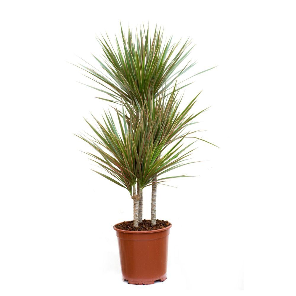 Dracaena marginata bicolor 3 troncs (H.150cm)