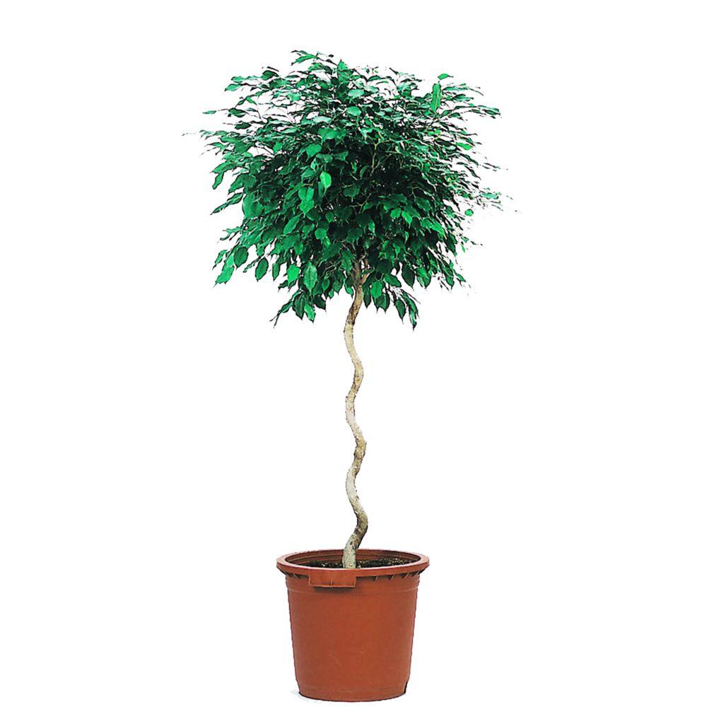 Ficus benjamina tronc spirale (H.150cm)