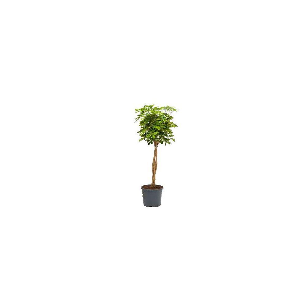 Schefflera compacta tronc tressé (H.160cm)