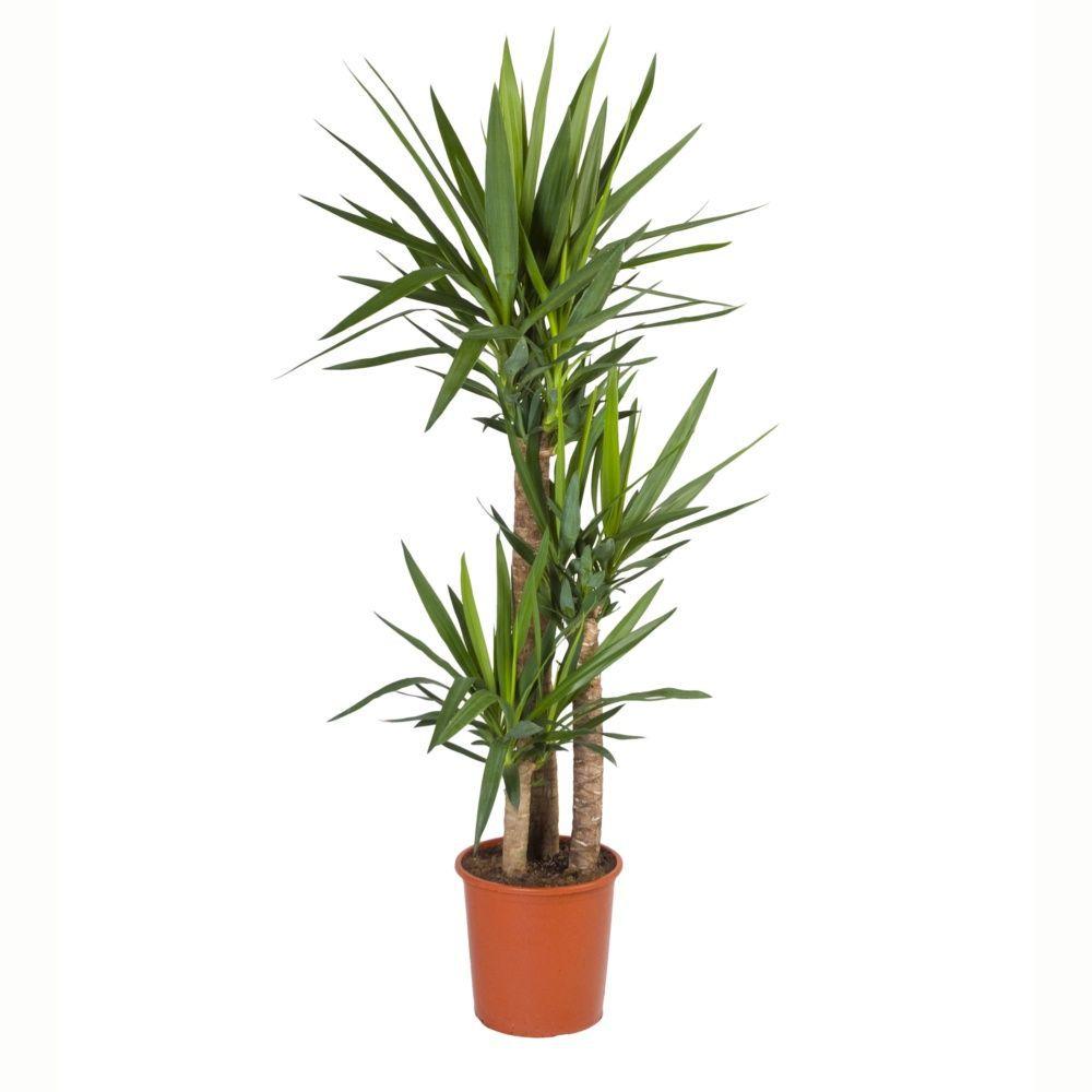 Yucca 3 troncs (H.165cm)