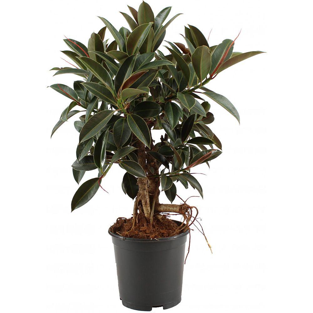 Ficus caoutchouc melany