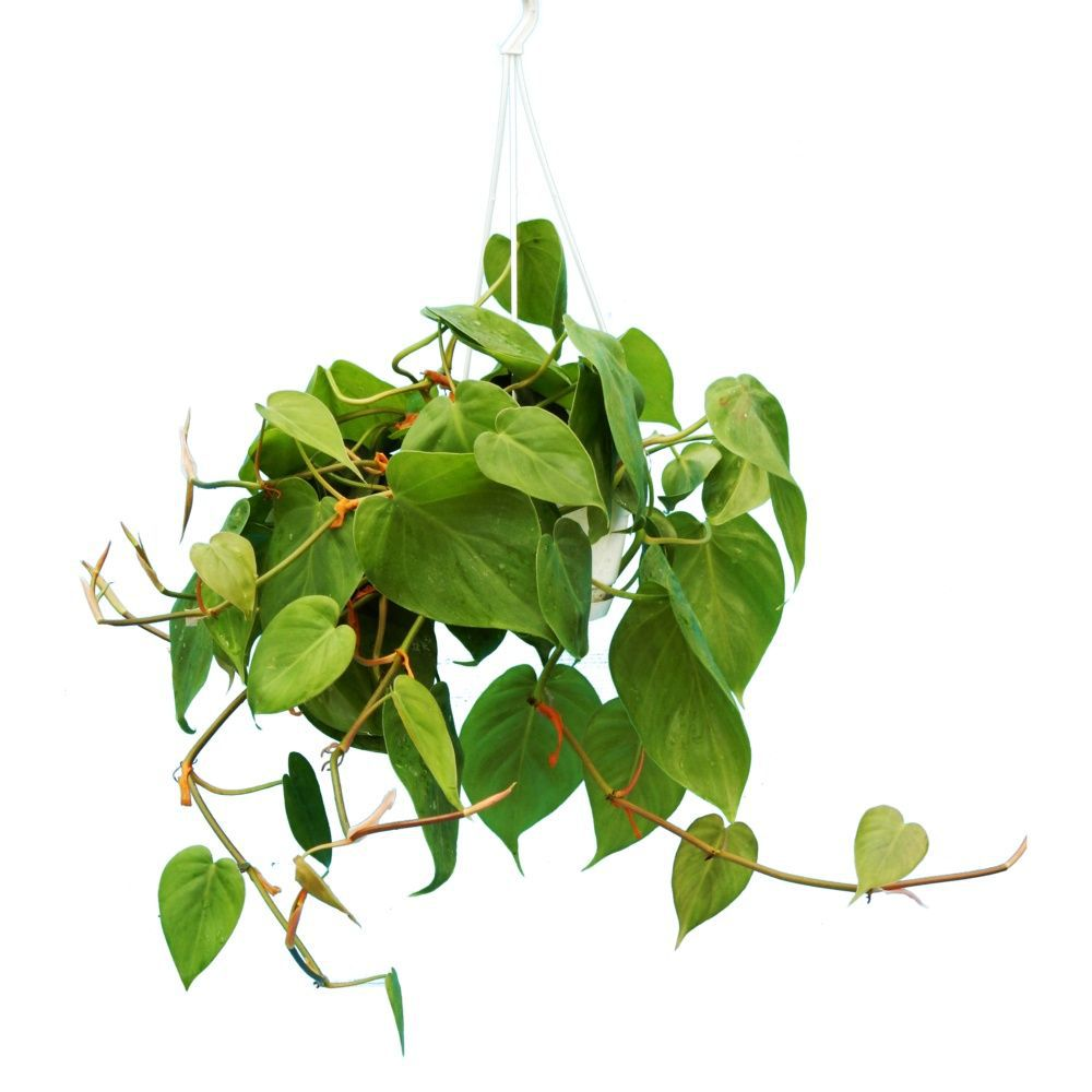 Philodendron scandens en suspension