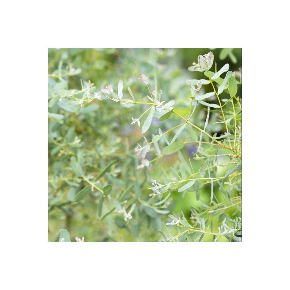 Eucalyptus France Bleu rengun