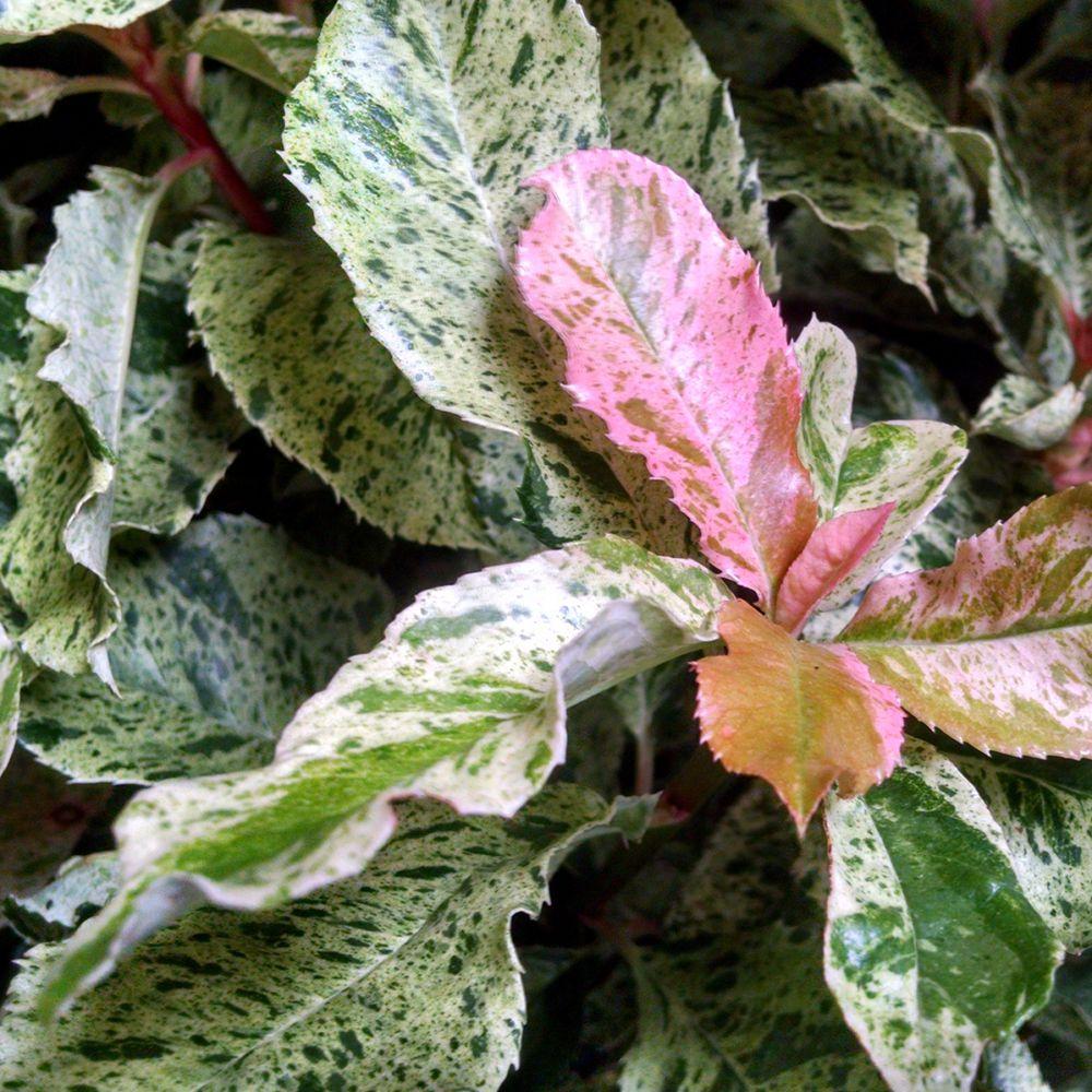 Photinia serratifolia Pink crispy