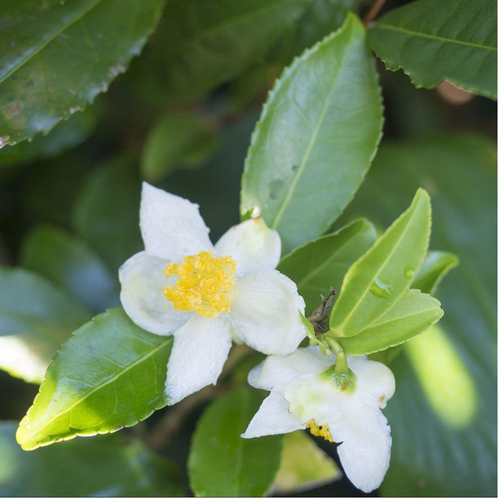 Théier - Camélia sinensis