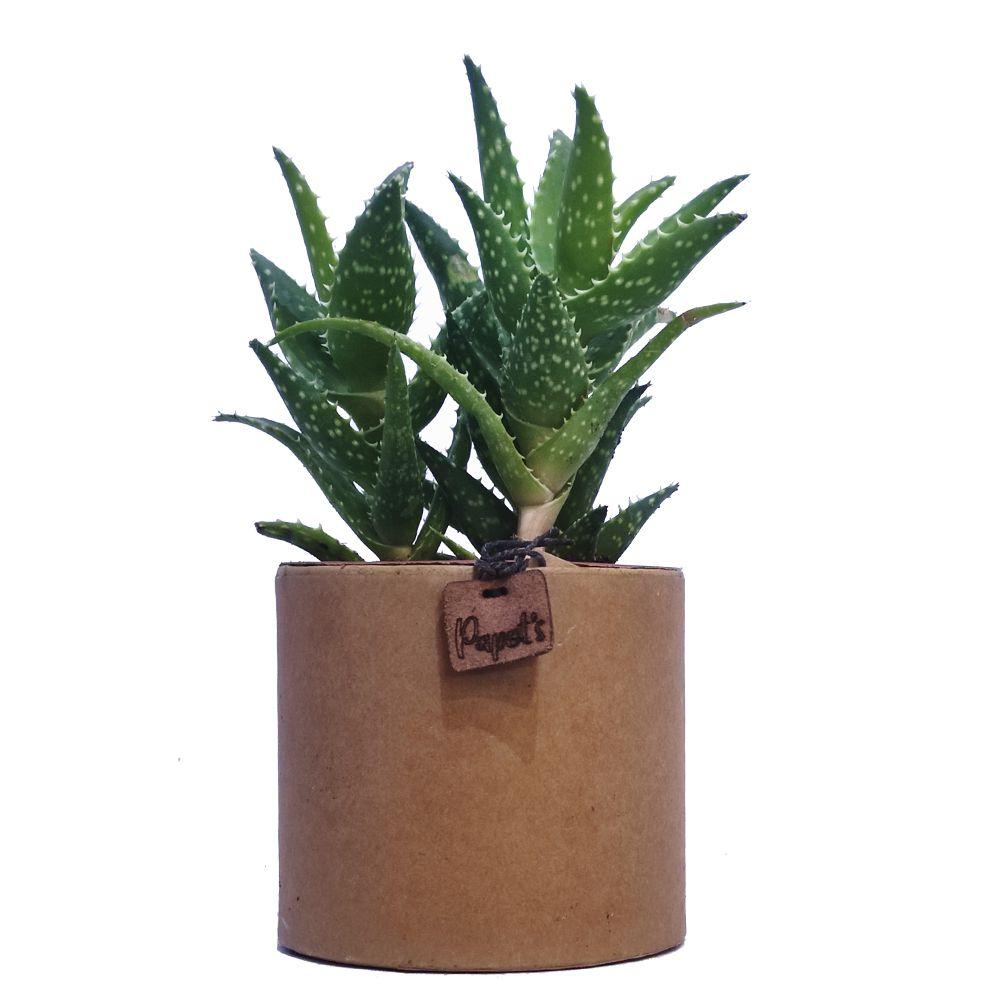 Aloe Mitriformis + cache pot kraft (H.35cm)