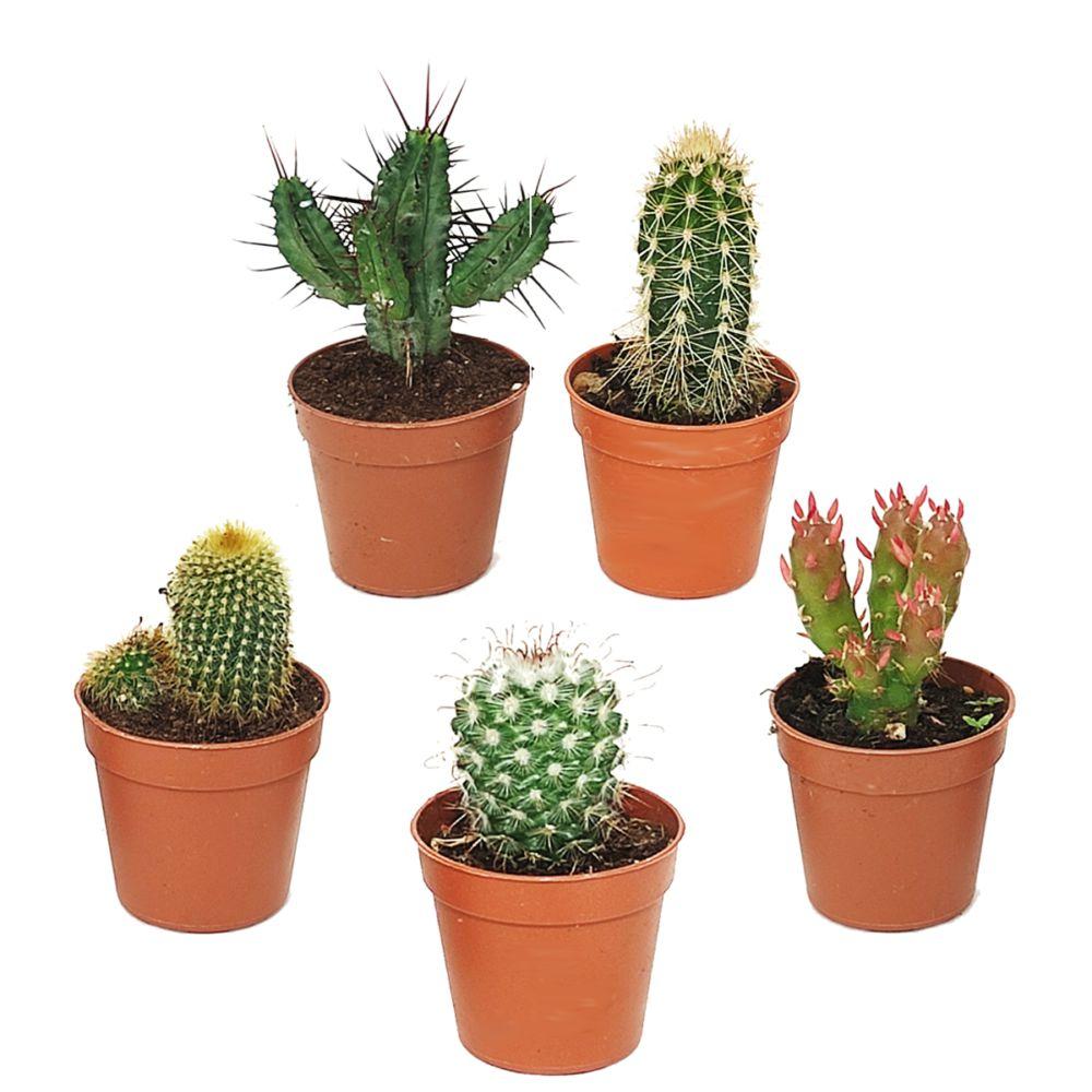 Kit de 5 mini-cactus N°1
