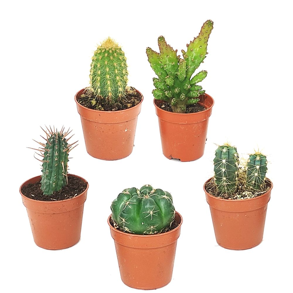 Kit de 5 mini-cactus N°2