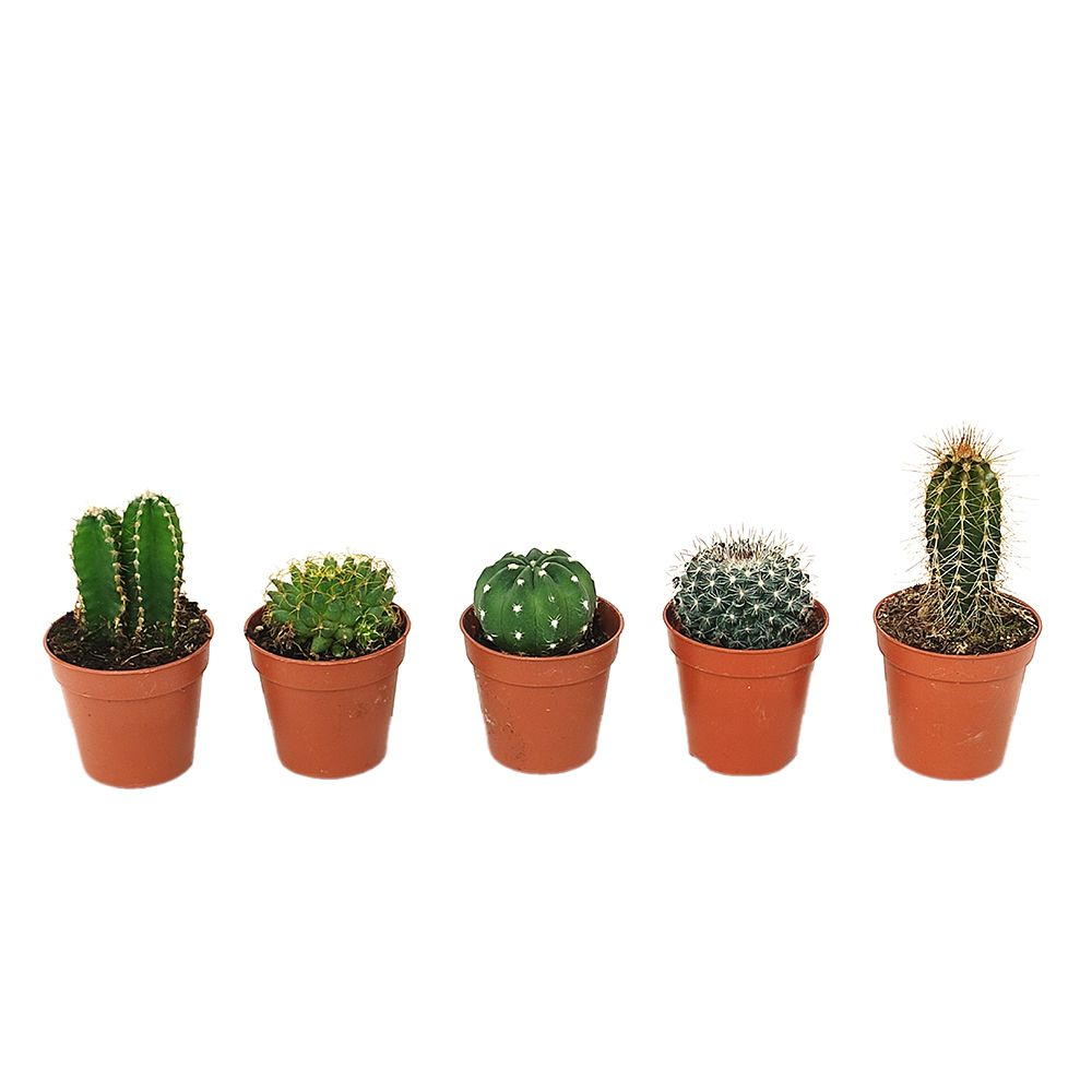Kit de 5 mini-cactus N°3