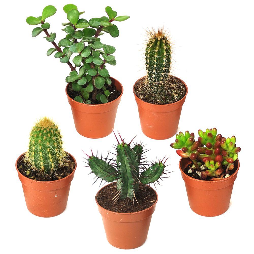 Kit de 5 cactus et succulentes N°7