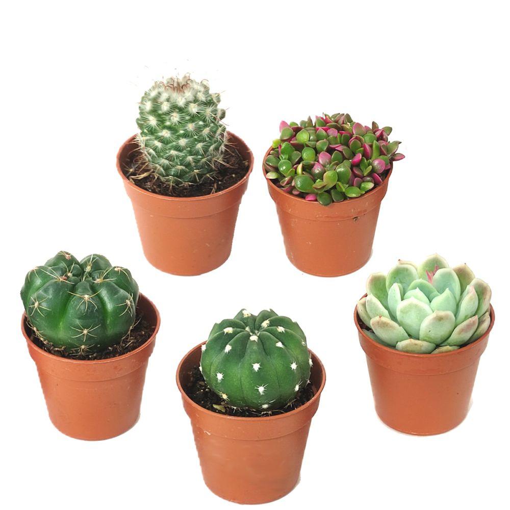 Kit de 5 cactus et succulentes N°8