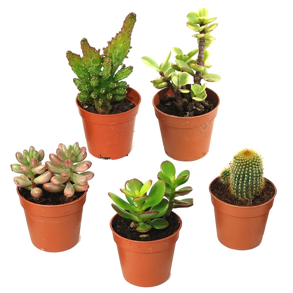 Kit de 5 cactus et succulentes N°12