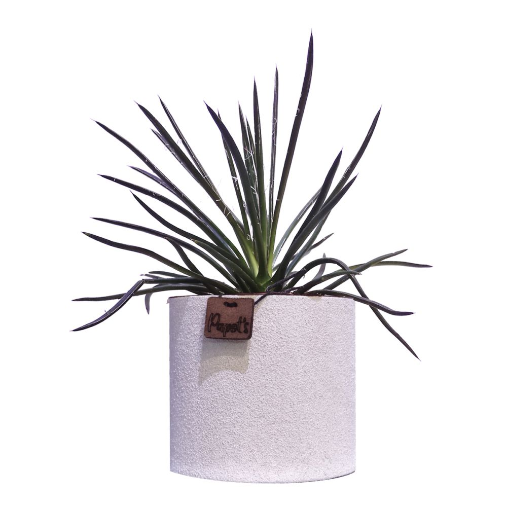 Agave Filifera + cache pot blanc (H.35cm)