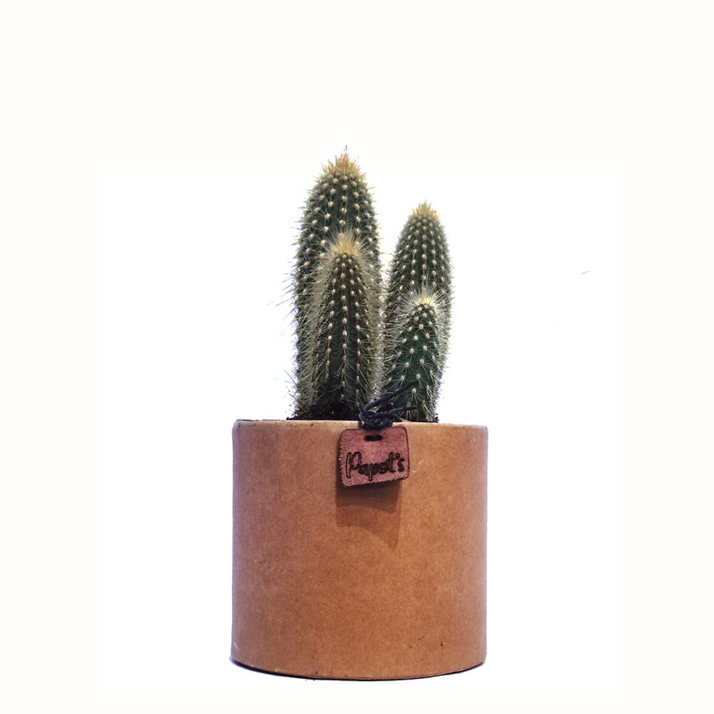 Vatricania Guentherii + cache pot kraft (H.35cm)
