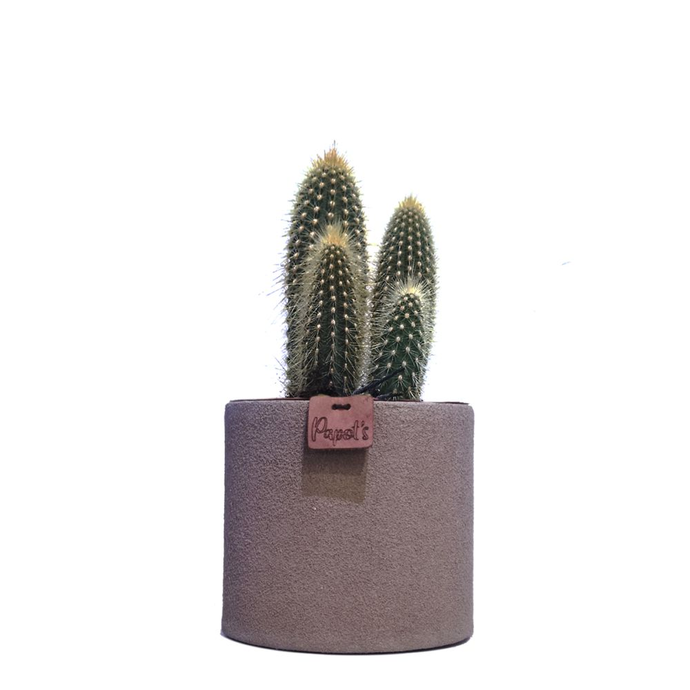 Vatricania Guentherii + cache pot taupe (H.35cm)