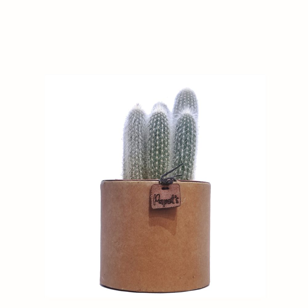Cleistocactus Strausii + cache pot kraft (H.35cm)