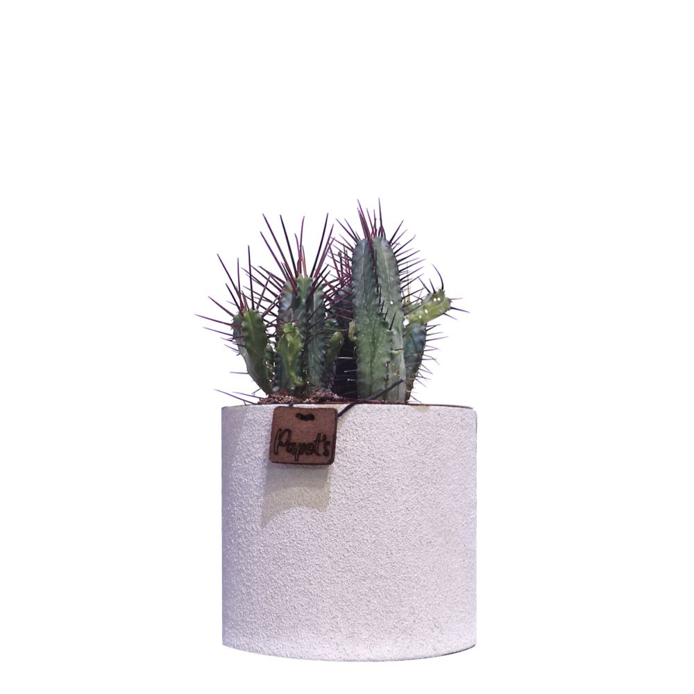 Euphorbe Enopla + cache pot blanc (H.35cm)