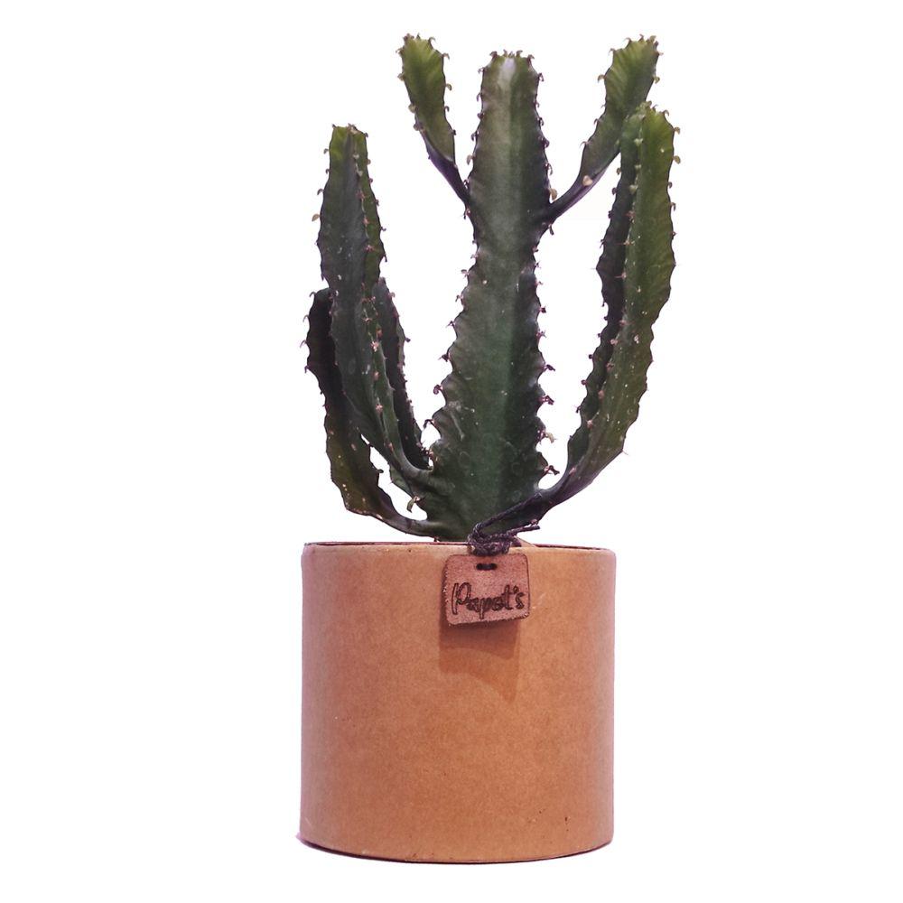 Euphorbe Triangularis + cache pot kraft (H.35cm)