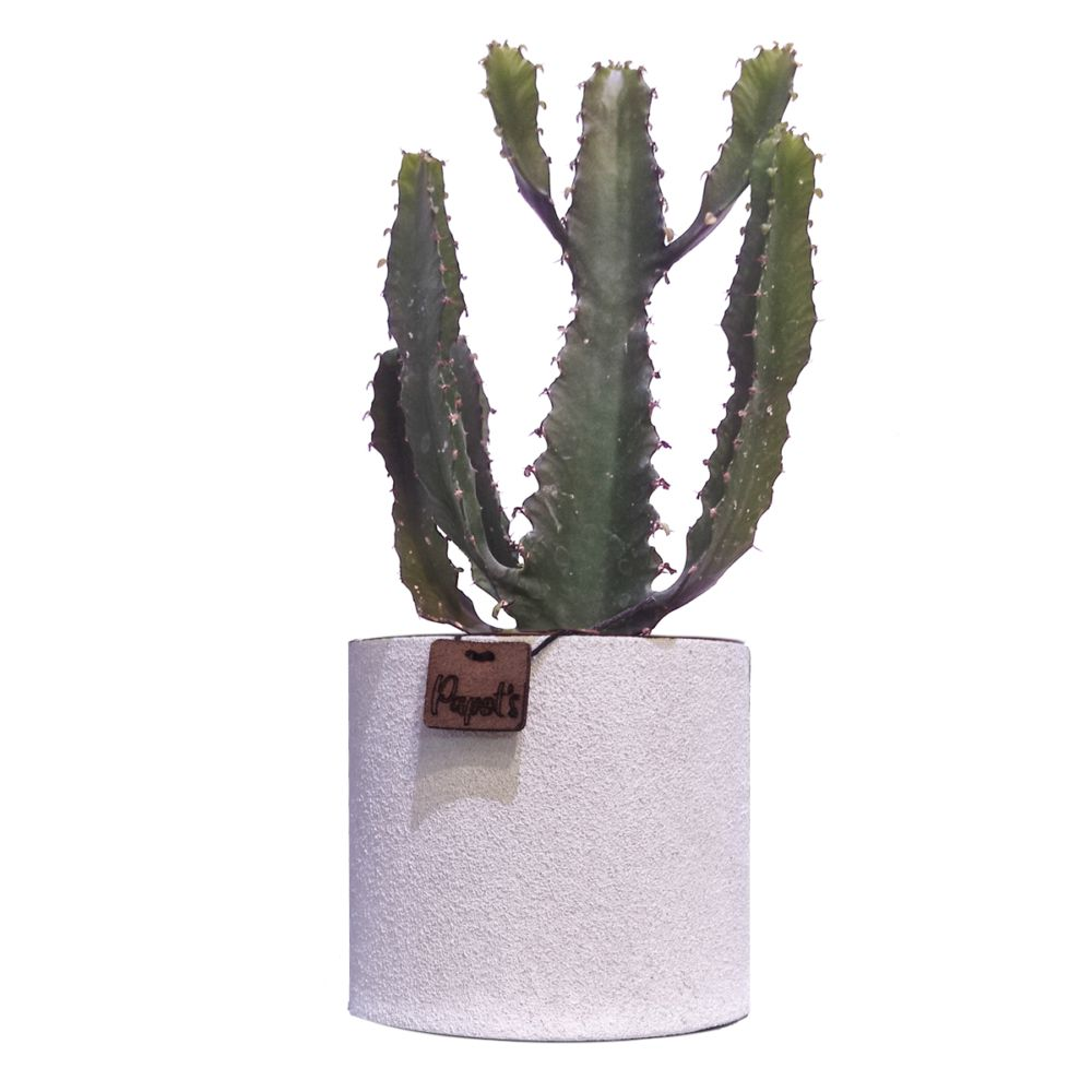 Euphorbe Triangularis + cache pot blanc (H.35cm)