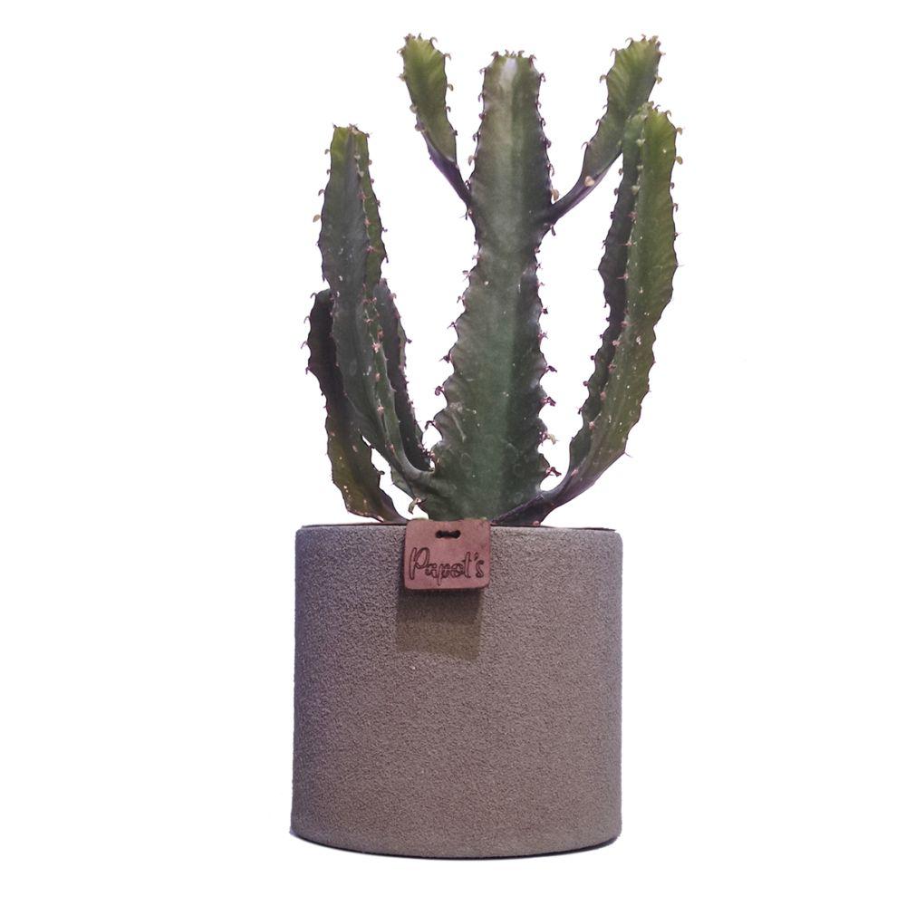 Euphorbe Triangularis + cache pot taupe (H.35cm)