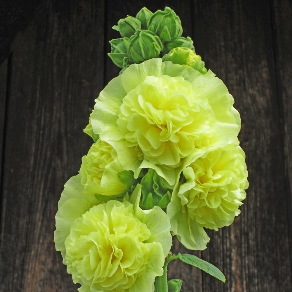 rose tremiere semi double 39 spring celebrities 39 jaune pot. Black Bedroom Furniture Sets. Home Design Ideas