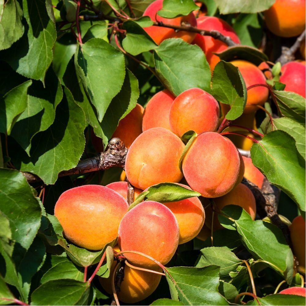 Abricotier 'Précoce de Saumur' : taille en gobelet, en pot