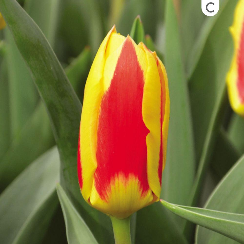 Tulipe 'Stresa'