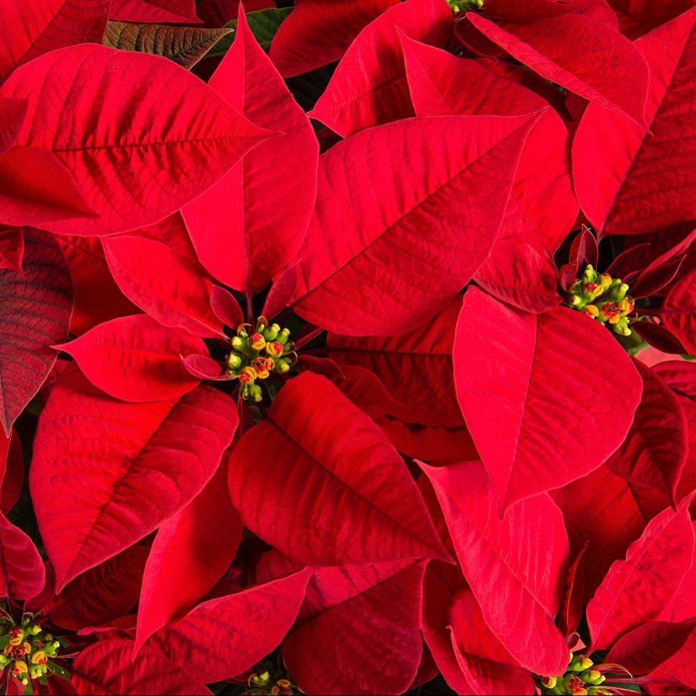 Etoile De Noel Plante Exterieur poinsettia rouge - etoile de noël