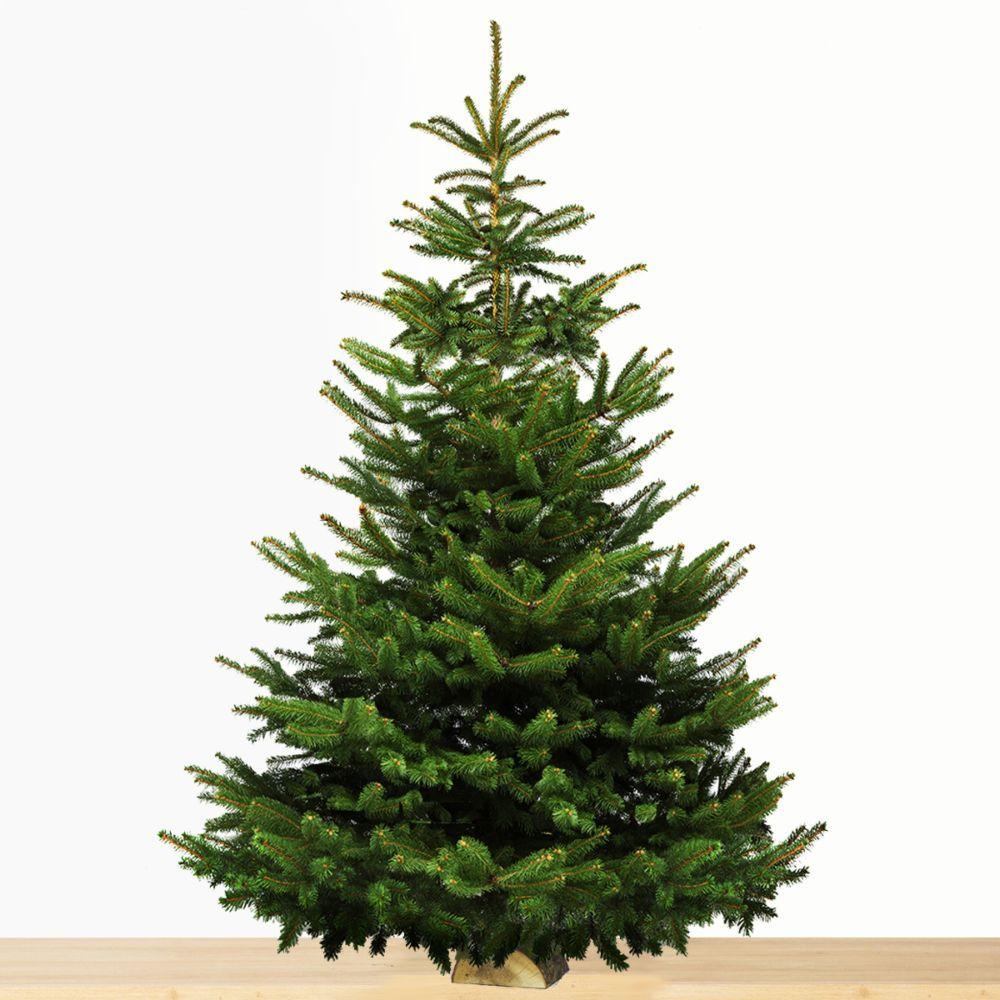 Sapin de Noël Nordmann 3/3,5m cm sur bûche. Livraison offerte sous