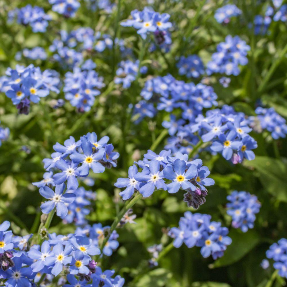 Coloriage Fleur Myosotis.Myosotis Bleu Le Lot De 3 Godets Gamm Vert