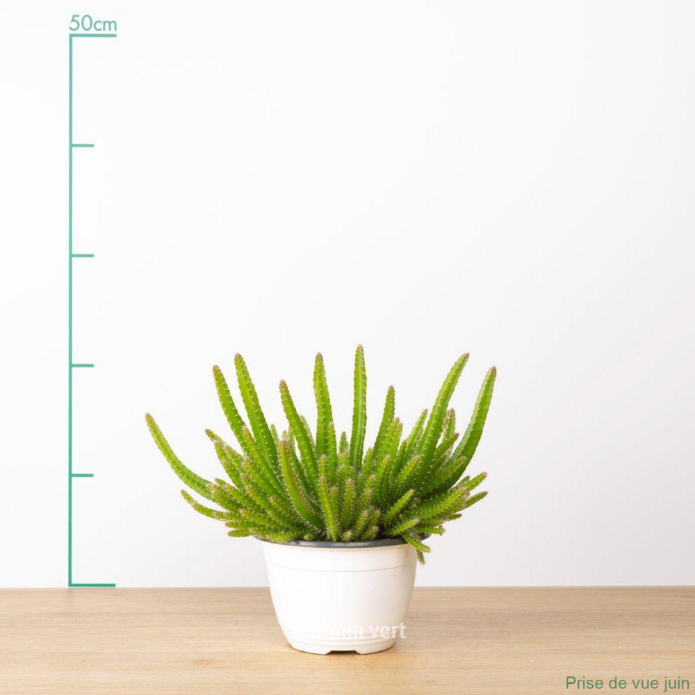 Aporocactus flagelliformis