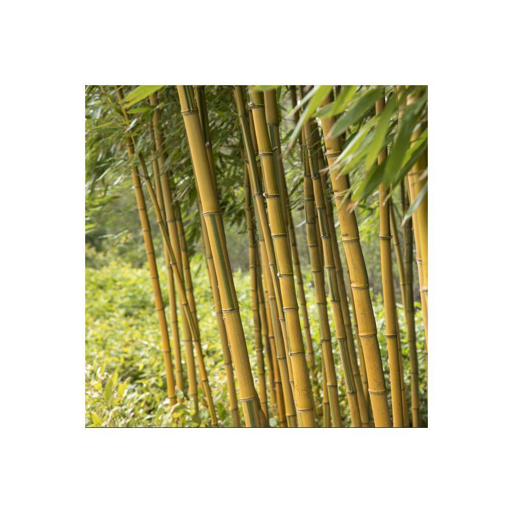Bambou Phyllostachys aureosulcata 'Spectabilis'