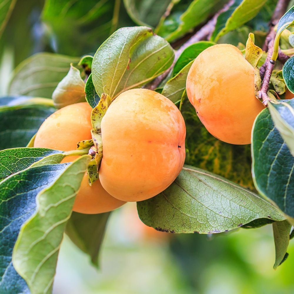 Coloriage Fruit Kaki.Kaki Pomme Fuyu Taille Demi Tige En Pot De 12 L Pot De 12