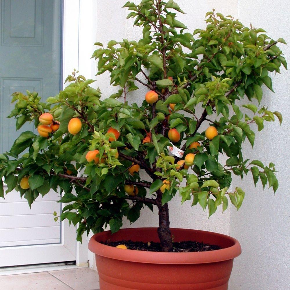 Arbre Fruitier D Intérieur abricotier nain autofertile 'garden aprigold®' en pot