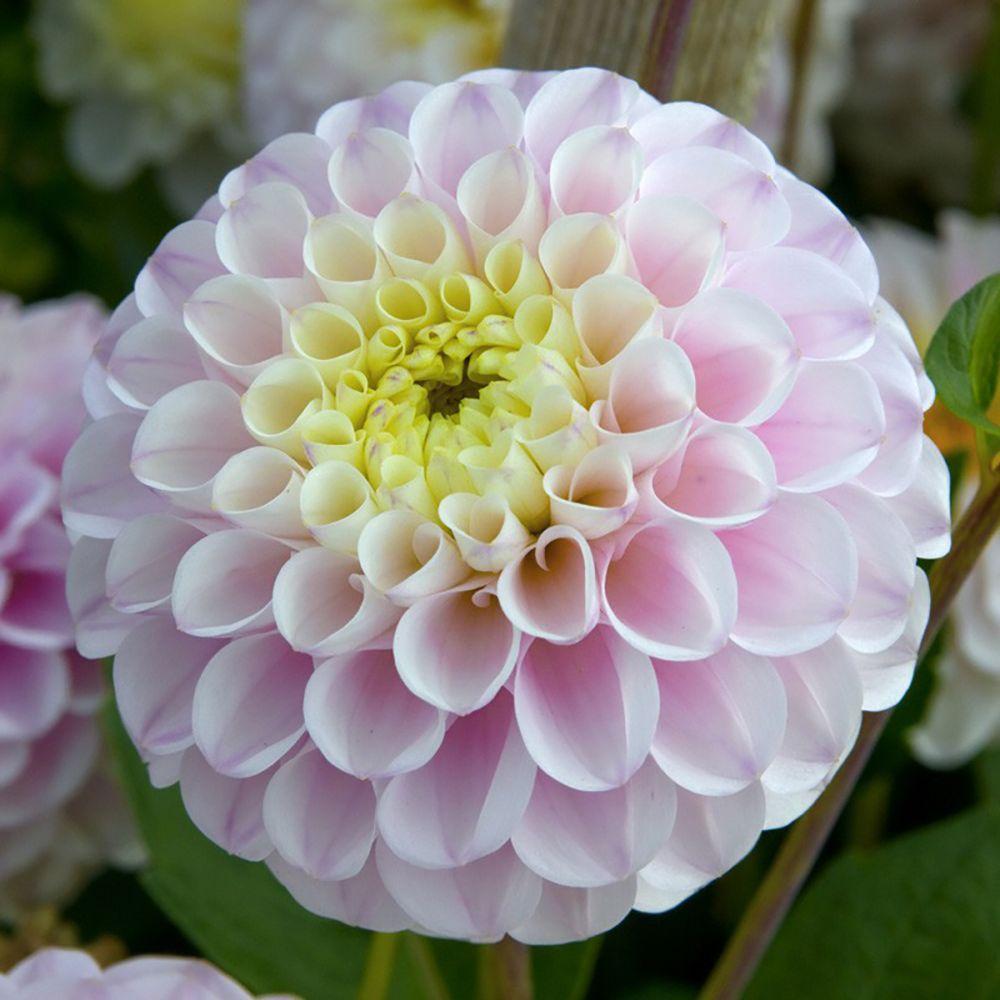 300 Graines de Zinnia à Fleur de Dahlia en /'/'Pompon/'/' Fleurs Coupées