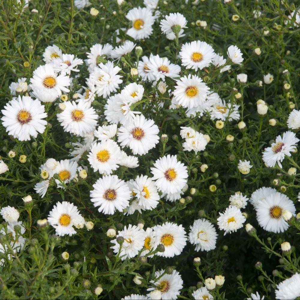 Aster d'automne 'White Ladies' - Aster Novi-Belgii
