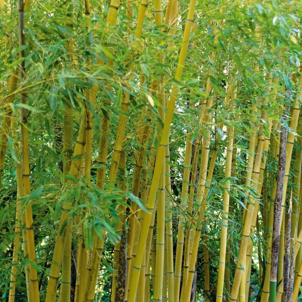 Bambou moyen : Phyllostachys aurea