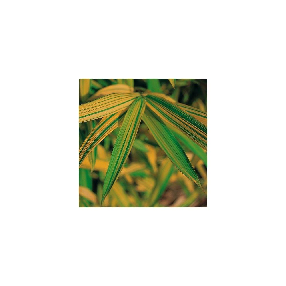 Bambou nain : Pleioblastus viridistriatus Auricoma