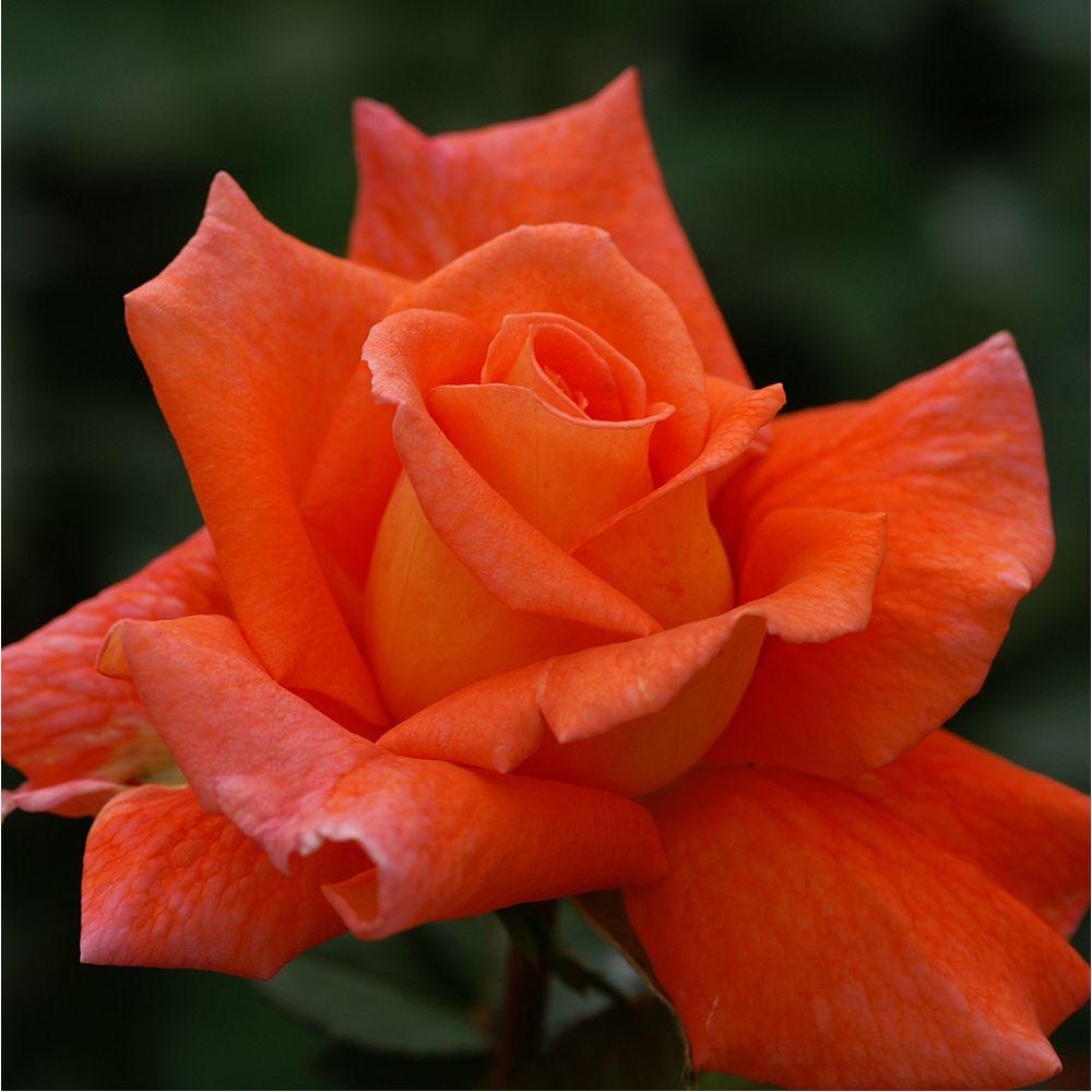 Rosier 'Orange sensation' - Rosier Meilland