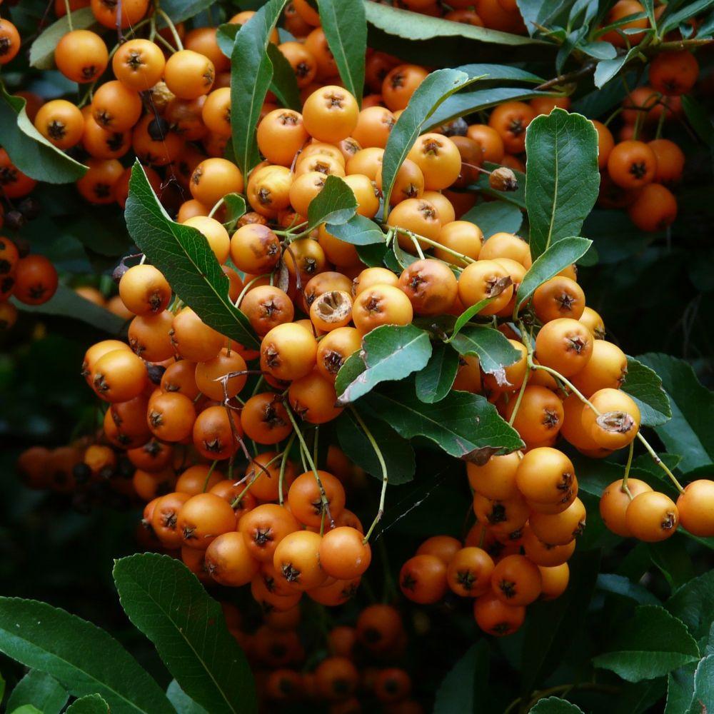 Buisson-ardent 'Saphyr Orange®' Cadange