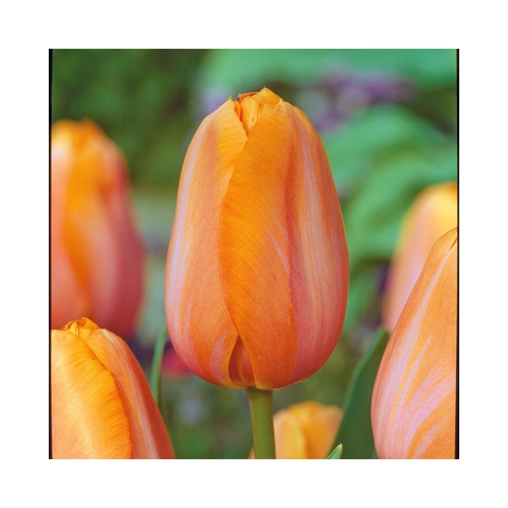Tulipe 'Dordogne'
