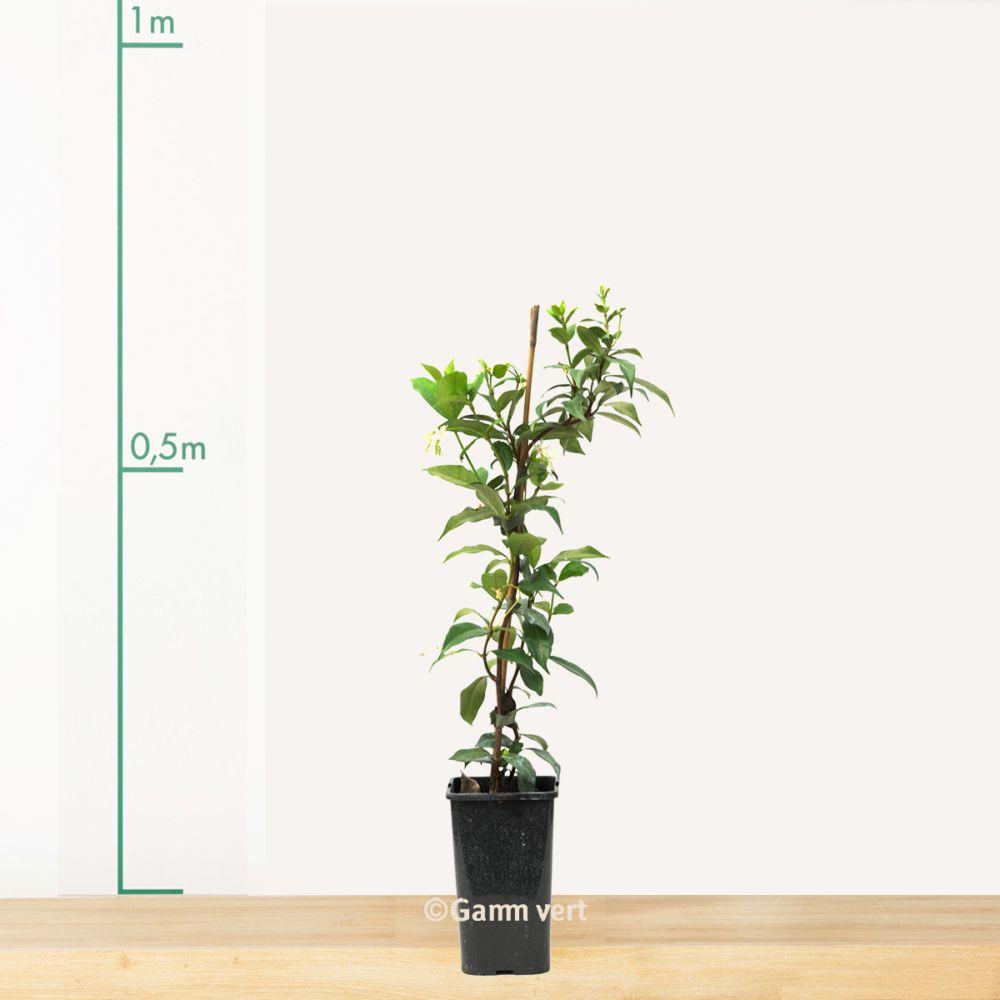 Jasmin Persistant Pot De 1 5 Litre 14 A 18 Mois De Culture Gamm Vert