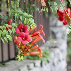 Plantes Grimpantes Fleuries Exterieur