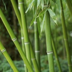 Bambous Gamm Vert