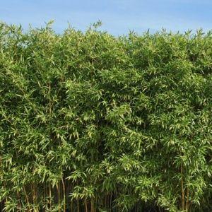 Bambous - Gamm Vert
